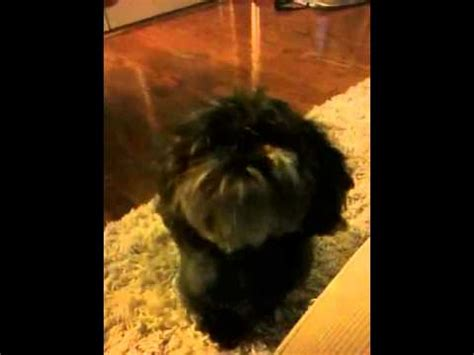 singing shih tzu shih tzu is listening to our talking and singing phone funnydog tv