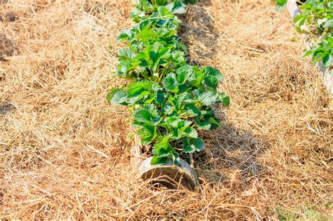 reasons to mulch your garden southeast agnet