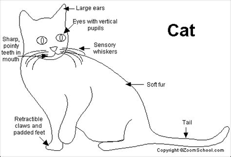 cat sections cat thoracic cavity organs diagram cat free engine image