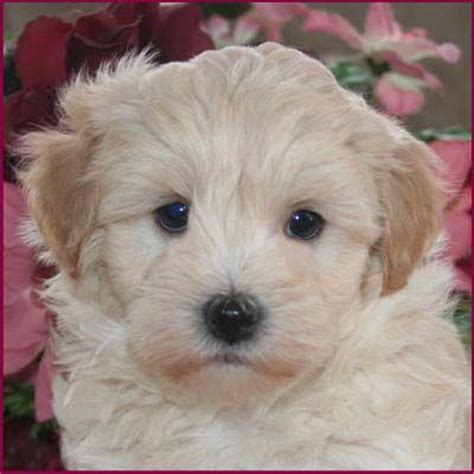 maltipoo puppies for sale mn best 25 maltipoo breeders ideas on maltipoo for sale maltipoo and