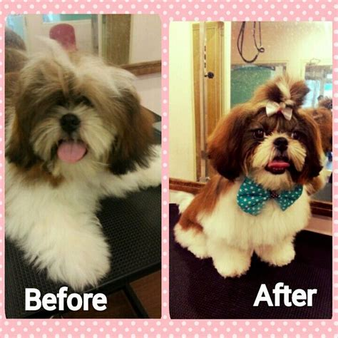 shih tzu haircuts before and after 17 best images about before n after grooming on pinterest