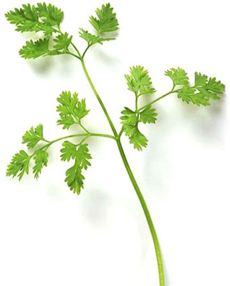 from the herb garden chervil the kitchn