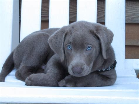 silver lab puppies price silver labradors puppies for sale and for adoptiond with price