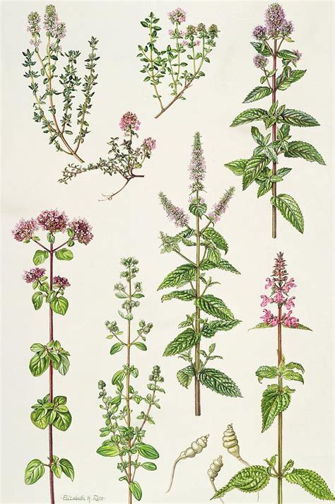 Next Wall Sticker thyme and other herbs painting by elizabeth rice