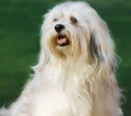 havanese colors 17 best images about havanese dogs on coats dogs and island