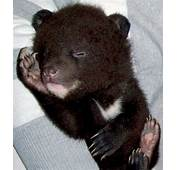 Himalayan Bear Cubs Found New Home  Animals