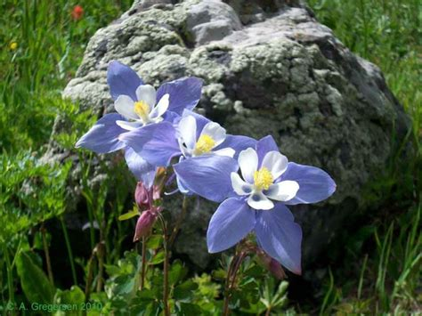 colorado rocky mountain columbine u s state birds