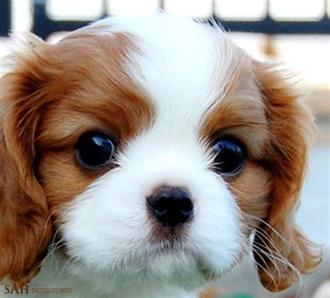 king charles puppy best 25 cavalier king charles ideas on cavalier charles spaniel and king