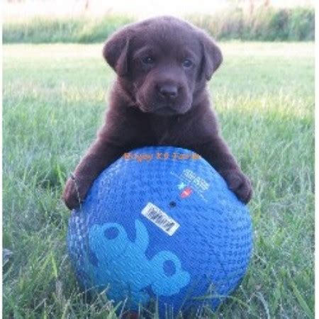 chocolate lab puppies for adoption in nc chocolate lab puppies for sale in west virginia breeds picture