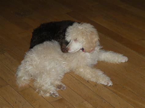 moyen poodle lifespan themoyenpoodle premium moyen poodle breeder