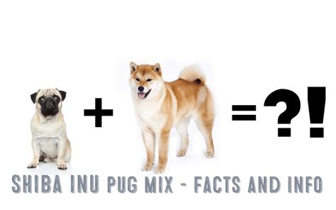 shiba pug shiba inu pug mix facts and information my shiba inu
