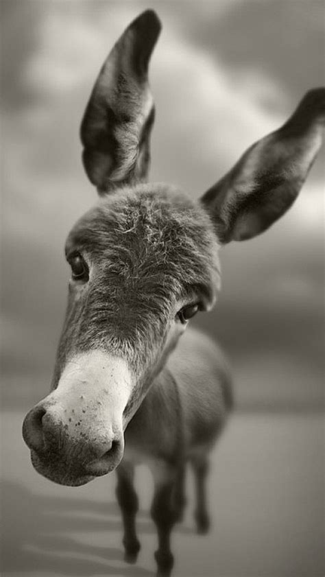 donkey funny  iphone wallpapers