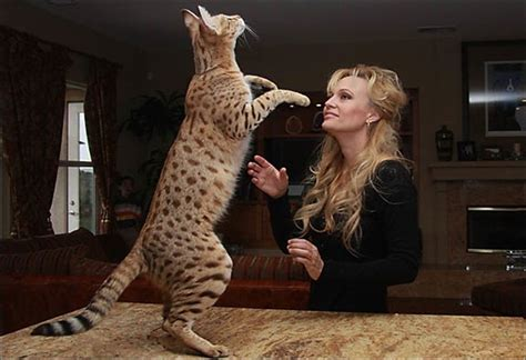 Is a Savannah Cat Right For Your Home?
