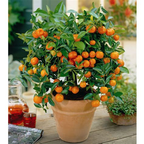 Patio Orange Tree by Autumn Plants Citrus Patio Trees 2 9cm Pots On Sale Fast
