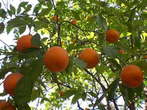 what is the fruit of the tree of citrus season the beginning or the end the slowvelder
