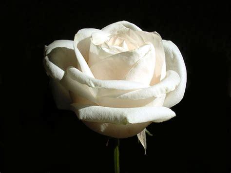 wallpaper bunga rose putih kopi hangat foto bunga mawar yang cantik