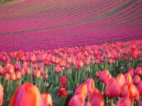 tulip feilds university of california research tulip fields in the