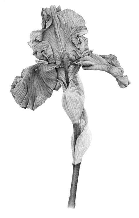 libro botanical drawing using graphite iris botanical print from original graphite drawing iris and botanical illustration