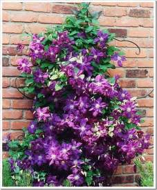 25 best ideas about climbing flowering vines on pinterest climber plants flower vines and