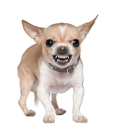 how to small dogs not to bite top 6 dangerous small breeds offices of fernando d vargas