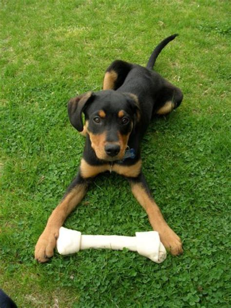lab rottweiler puppies rot and lab mized puppies mixed breed puppy what do you think this is doberman
