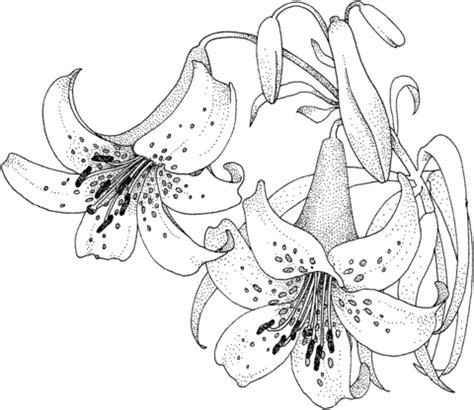 tiger lily coloring page lily blossom coloring page supercoloring com