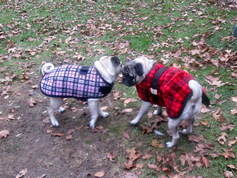 pug winter coat true fit coats review coats that fit pugs gift idea for dogs emily reviews
