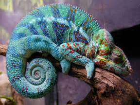 gecko change color heathermccurdy neat chameleon