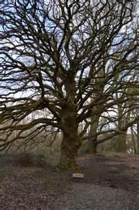 lucombe oak treborth botanic garden 169 n chadwick