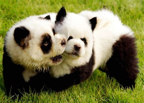 panda puppy makes a panda out of randommization