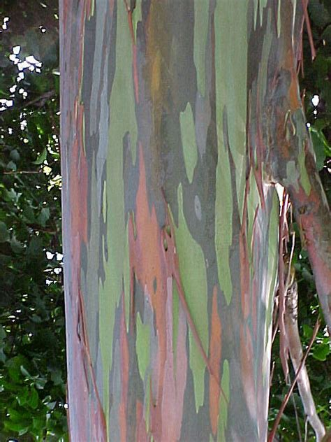 rainbow eucalyptus rainbow eucalyptus