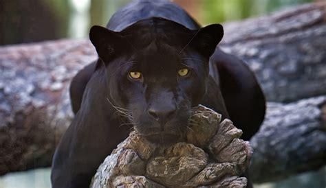pictures of black jaguars jaguars archives naturely