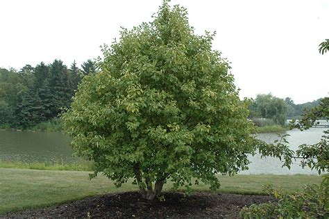 Plants With Red Foliage - golden alder alnus incana aurea in saskatoon saskatchewan sk at lakeshore garden centres