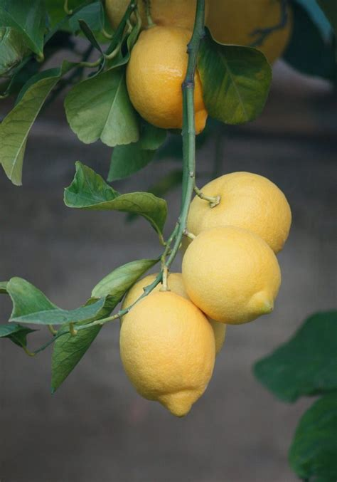 coltivazione dei limoni in vaso agrumi in vaso coltivare le piante di limoni 232 facile se