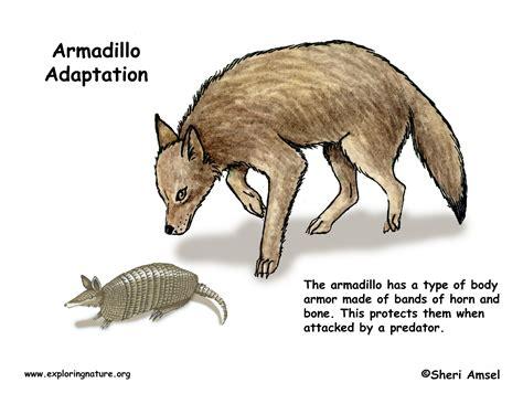 adaptations   armadillo