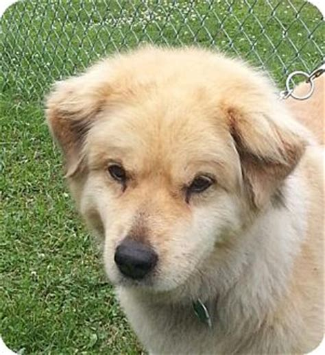 chow chow mix golden retriever snuggles 300 adopted allentown pa golden retriever chow chow mix