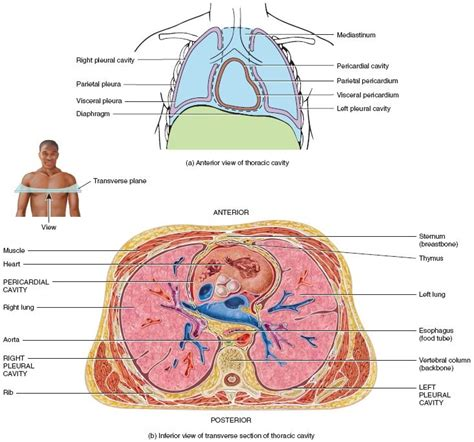 thoracic cavity diagram thoracic cavity blank diagram www pixshark images