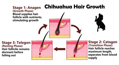 Shedding Phase Of The Hair Growth Cycle by Dealing With A Shedding Chihuahua