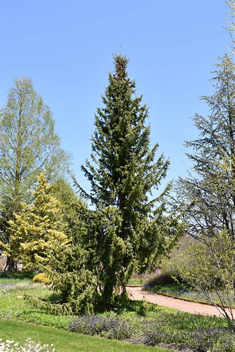 serbian spruce picea omorika  inver grove heights