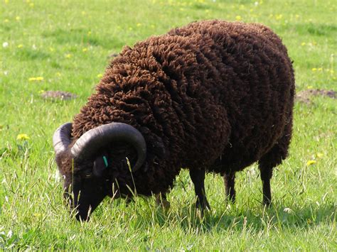 black sheep this or that black sheep wiktionary