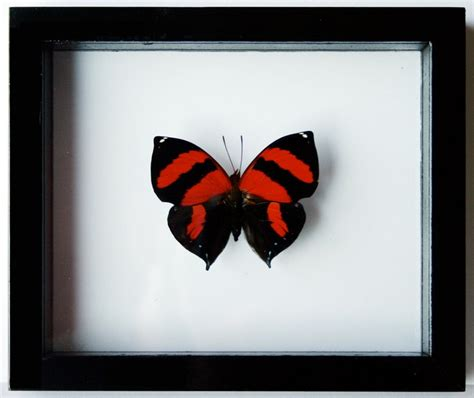 framed red heart butterfly real and mounted in black