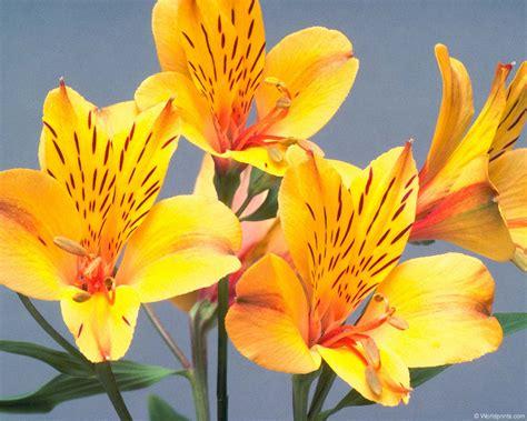 flower homes alstroemeria flowers