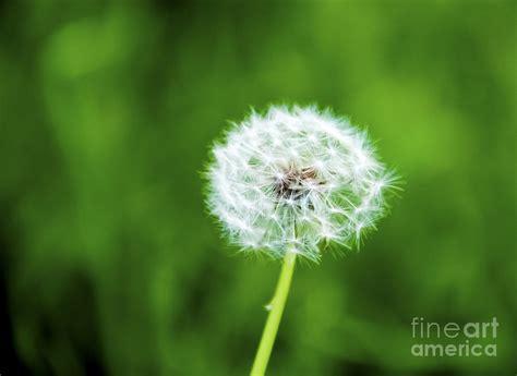 dandy flowers dandy flower by gosnell