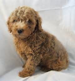 mini colour doodle goldendoodle goldendoodles puppies breeder puppies for