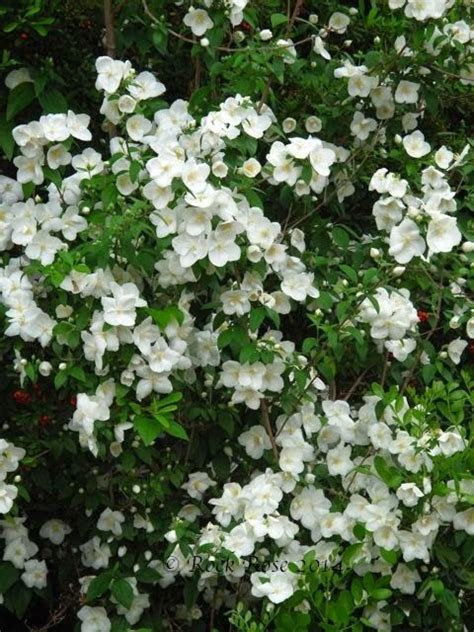 flowering shade shrubs best 20 flowering shrubs for shade ideas on