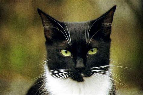 black and white cat black and white cat pics