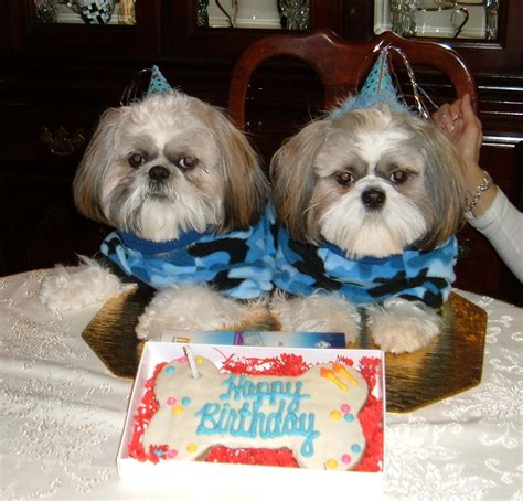 shih tzu birthday 1000 images about shih tzu on