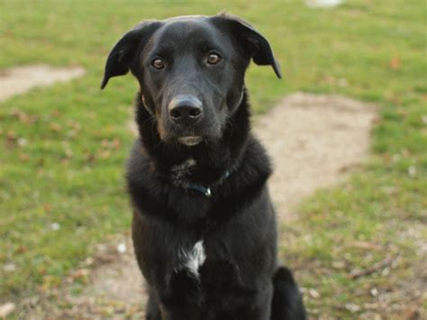Black Lab Shedding by Labrador Retriever Breed Hd Pictures 2013 Top Hd