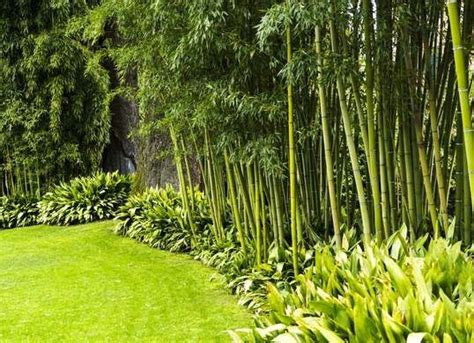 Bamboo Trees For Backyard by 25 Best Ideas About Bamboo Planter On Bamboo