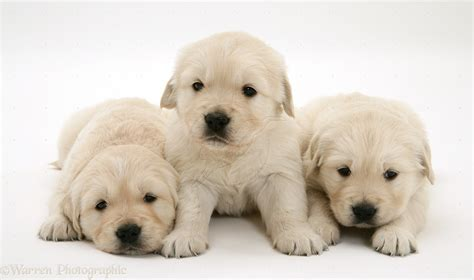 crate your golden retriever puppy golden retriever puppies pictures